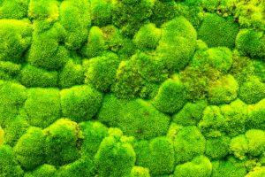 Frisches grünes Moos aus dem Wald