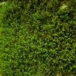 Schönes grünes Moos
